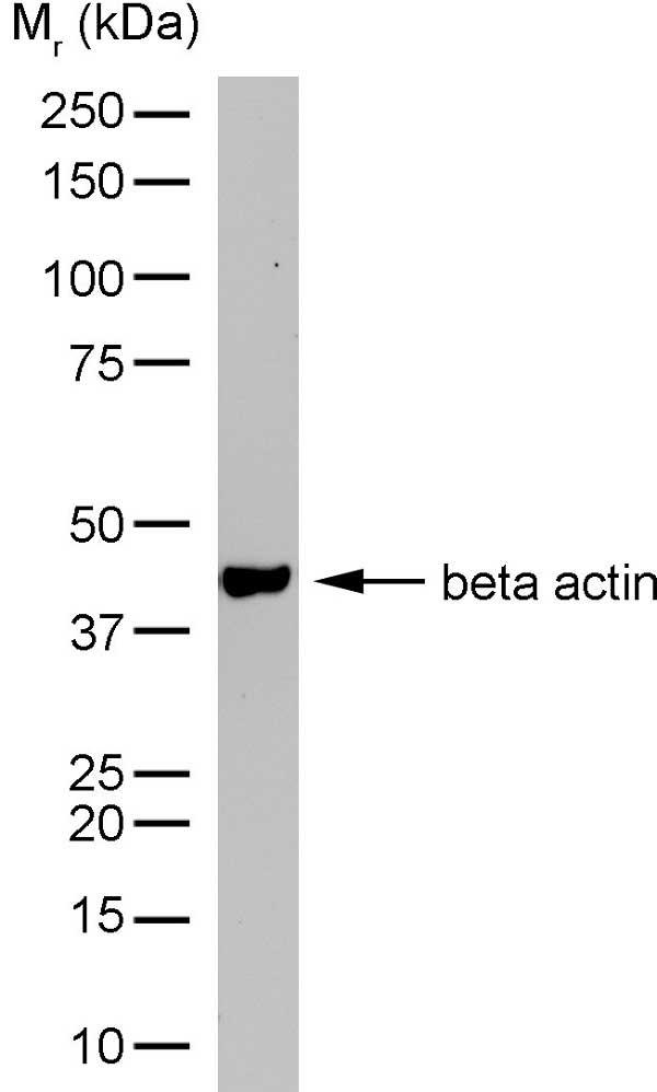 Actin Beta Antibody | AbD12141 gallery image 4