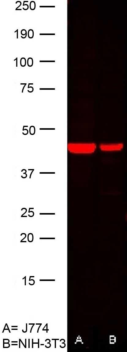 Actin Beta Antibody | AbD12141 gallery image 3