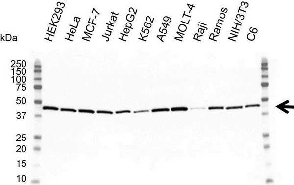 Actin Gamma Antibody (PrecisionAb<sup>TM</sup> Antibody) gallery image 1