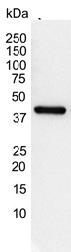 Actin Gamma Antibody | 2A3 gallery image 2