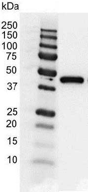 Actin Gamma Antibody (PrecisionAb<sup>TM</sup> Antibody) gallery image 2