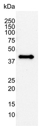 AHSA1 Antibody | 1A2-A8 gallery image 2