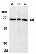 AIF Antibody gallery image 2