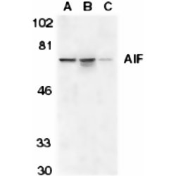 AIF Antibody gallery image 1