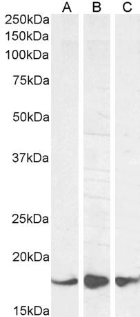 AIF1 Antibody gallery image 3