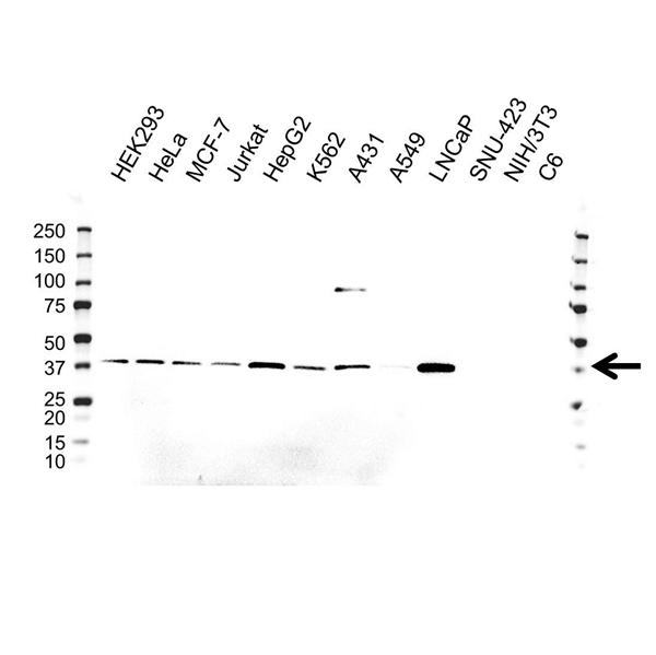 AKR1A1 Antibody (PrecisionAb<sup>TM</sup> Antibody) | 9F1 gallery image 1