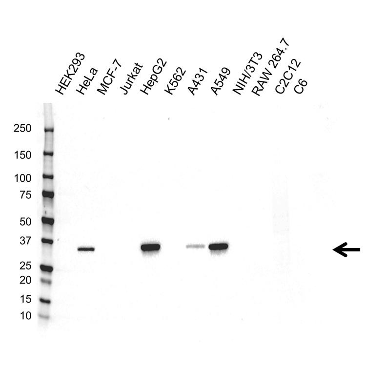 AKR1C1 Antibody (PrecisionAb<sup>TM</sup> Antibody) gallery image 1