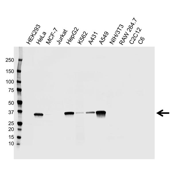 AKR1C2 Antibody (PrecisionAb<sup>TM</sup> Antibody) gallery image 1