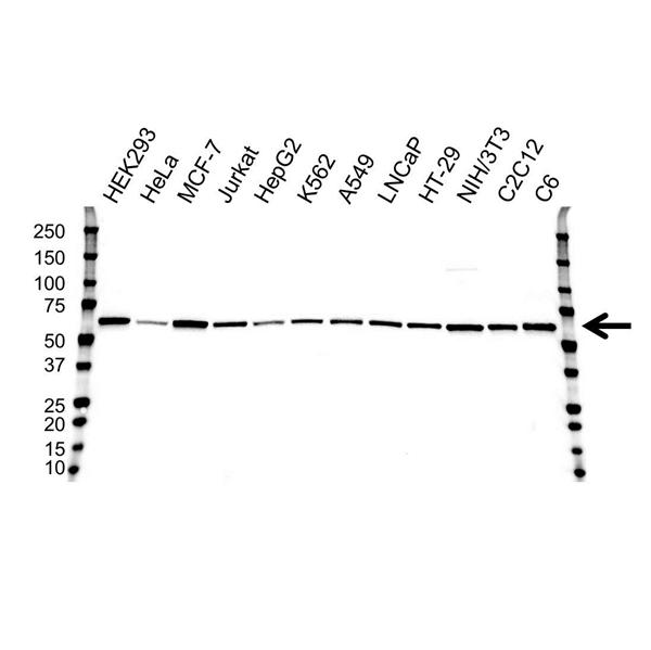 AKT1 Antibody (PrecisionAb<sup>TM</sup> Antibody) | 4C11 gallery image 1