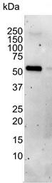 AKT1 Antibody | AbD03813 gallery image 1