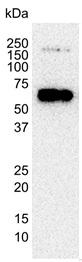 AKT2 Antibody | 1F3 gallery image 3