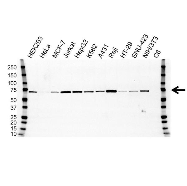ALAS1 Antibody (PrecisionAb<sup>TM</sup> Antibody) | OTI1C5 gallery image 1