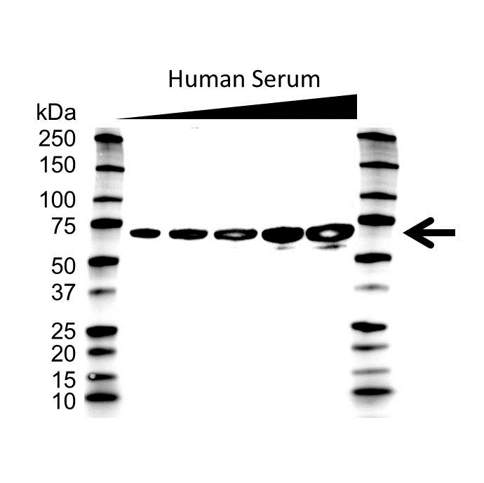 Albumin Antibody (PrecisionAb<sup>TM</sup> Antibody) gallery image 1
