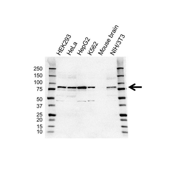 ALDH18A1 Antibody (PrecisionAb<sup>TM</sup> Antibody) gallery image 1