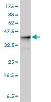 ALDOA Antibody | 3D9-6F3 gallery image 2