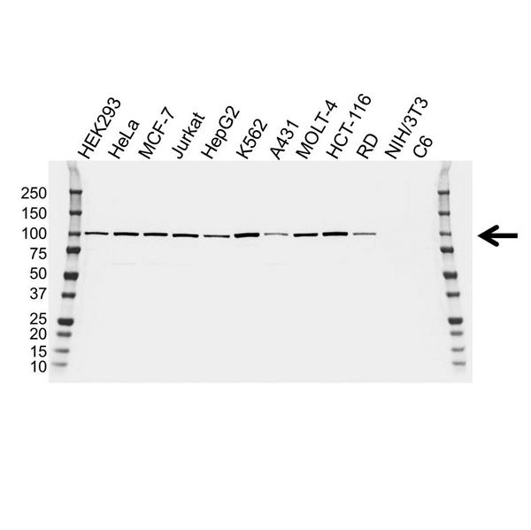 ALIX Antibody (PrecisionAb<sup>TM</sup> Antibody) | OTI1A4 gallery image 1