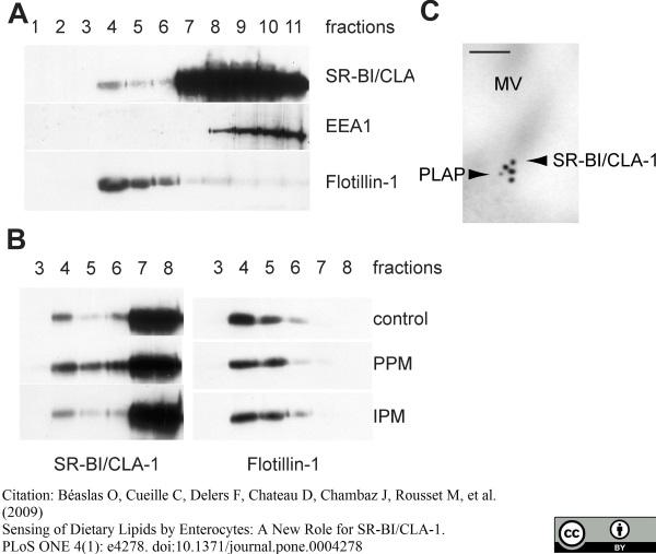 Alkaline Phosphatase Antibody gallery image 1