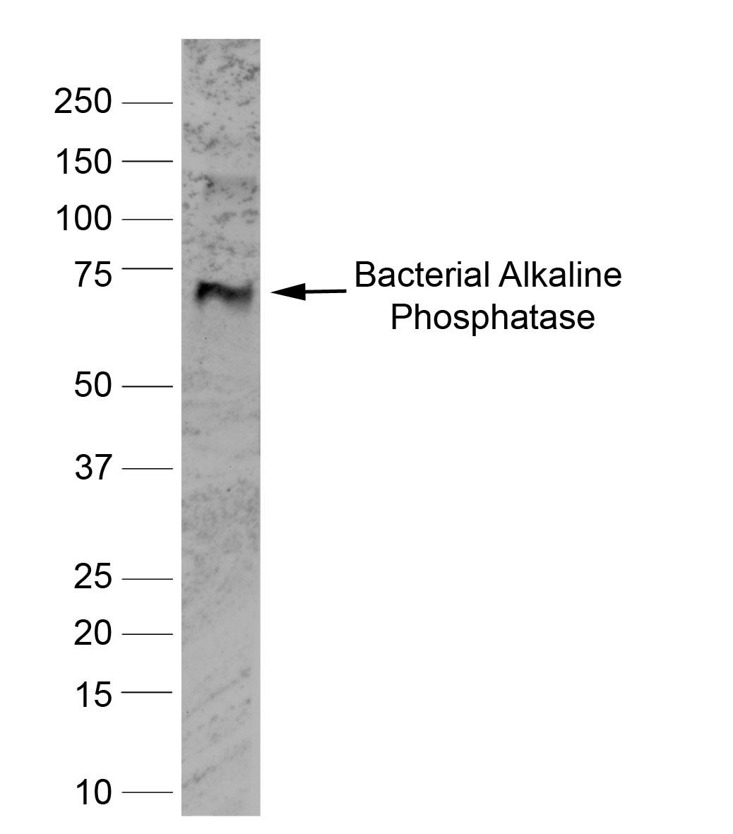 Alkaline Phosphatase Antibody | BGN/03/662 gallery image 1