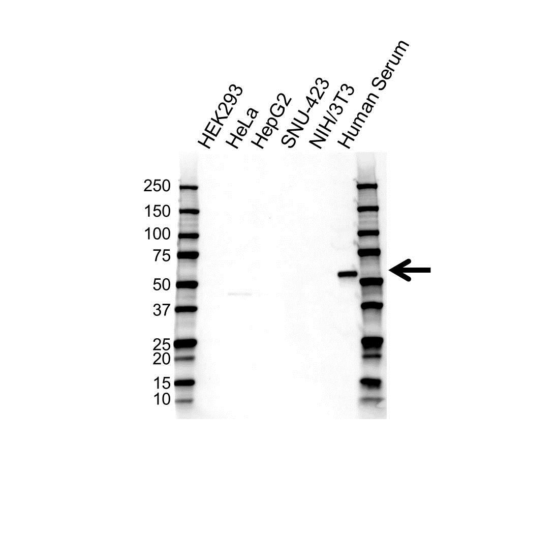 Alpha 1 Antitrypsin Antibody (PrecisionAb<sup>TM</sup> Antibody) gallery image 1