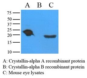Alpha A Crystallin Antibody | c9F2 gallery image 1