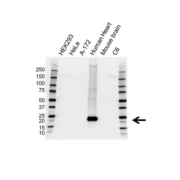 Alpha B Crystallin Antibody (PrecisionAb<sup>TM</sup> Antibody) gallery image 1