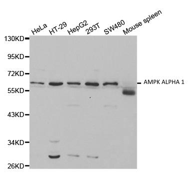 AMPK Alpha 1 Antibody gallery image 1
