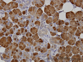 Amylase Antibody | 2D4 gallery image 1
