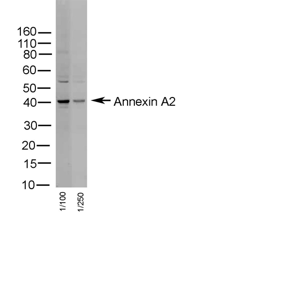 Annexin II Antibody gallery image 1