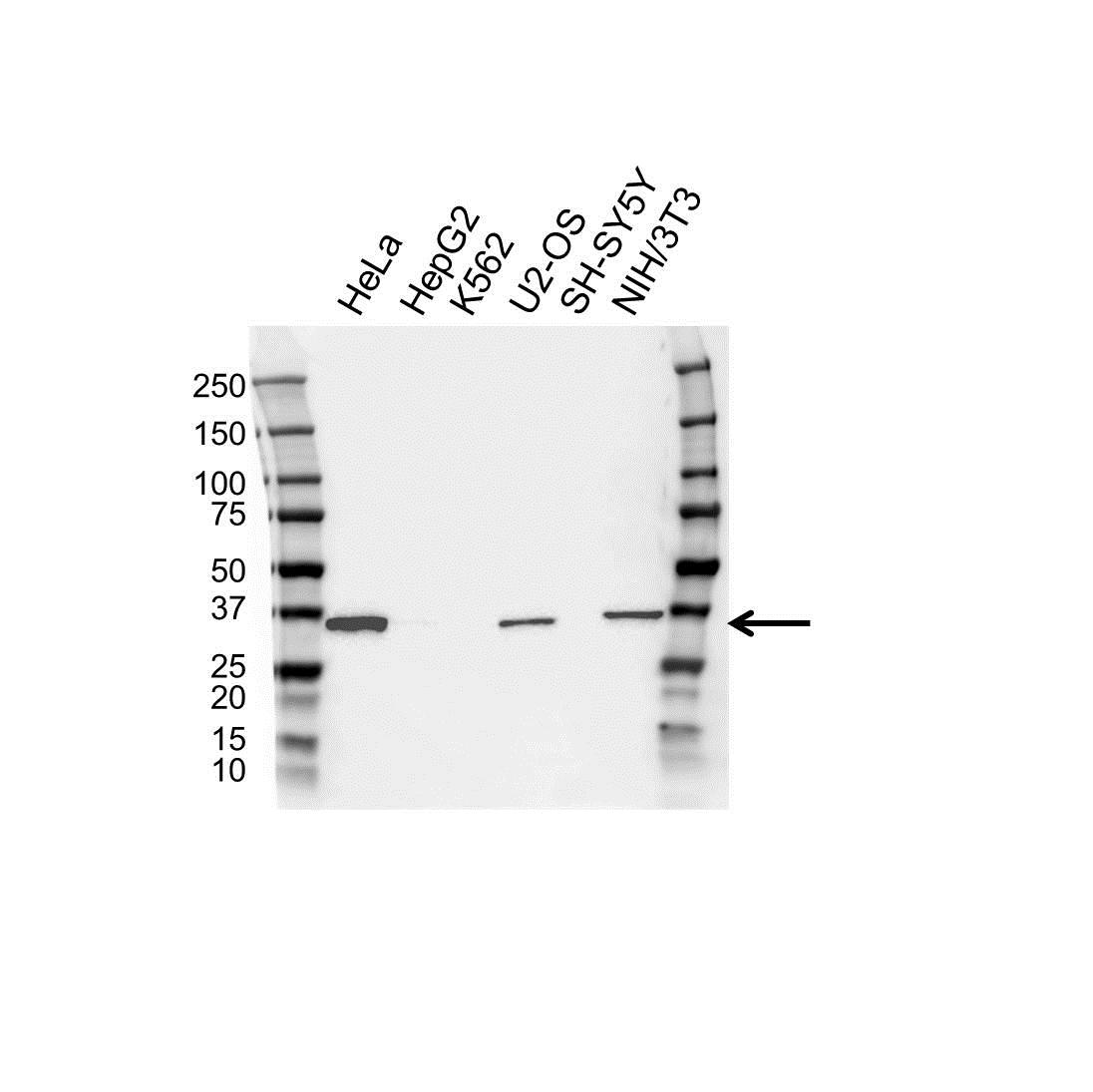 Annexin III Antibody (PrecisionAb<sup>TM</sup> Antibody) | OTI1F11 gallery image 1