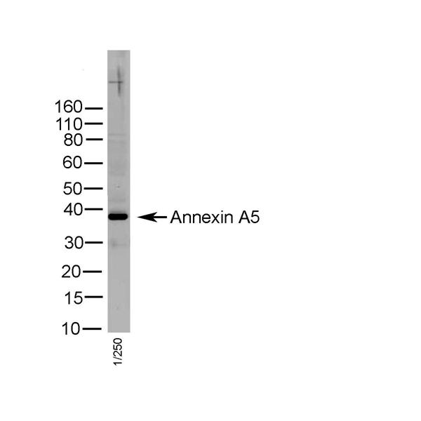 Annexin V Antibody gallery image 1