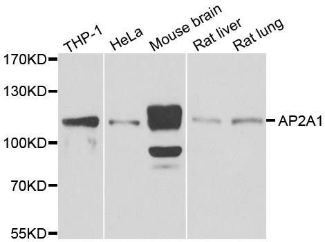 AP2A1 Antibody gallery image 1