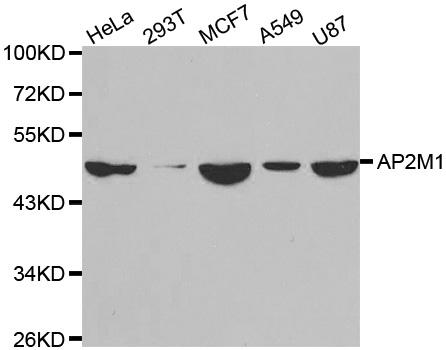 AP2M1 Antibody gallery image 1