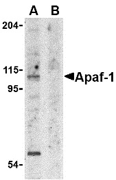 APAF1 Antibody gallery image 1