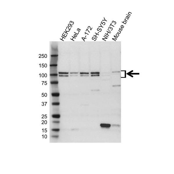 APBB1 Antibody (PrecisionAb<sup>TM</sup> Antibody) gallery image 1