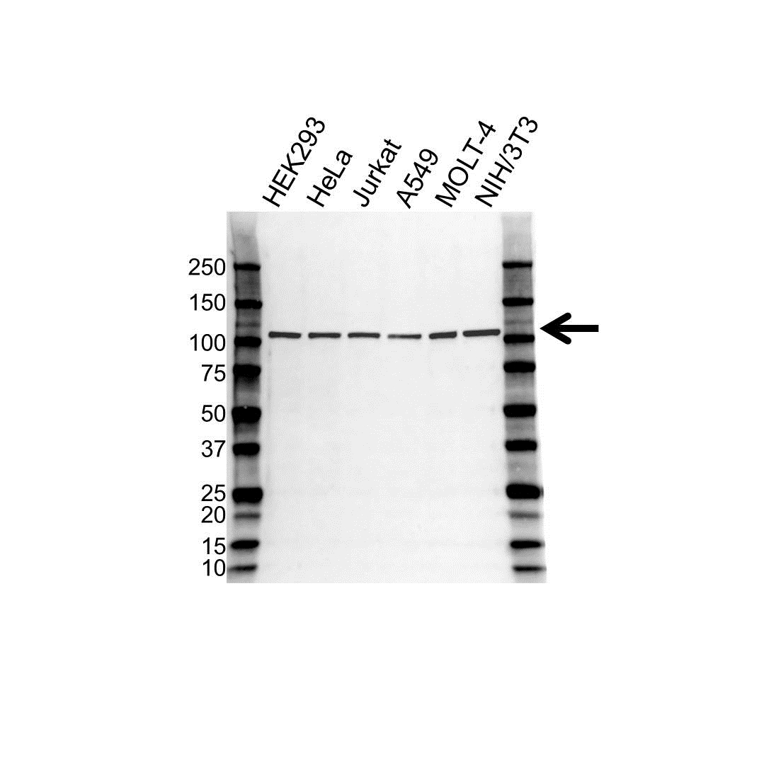 APC2 Antibody (PrecisionAb<sup>TM</sup> Antibody) | OTI1B11 gallery image 1