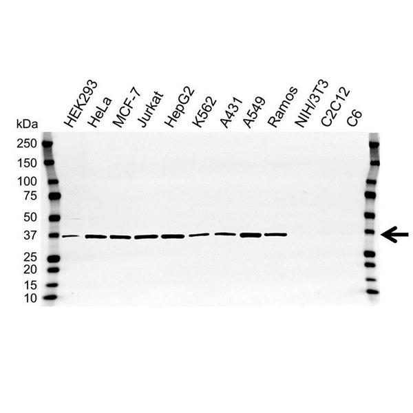 APEX1 Antibody (PrecisionAb<sup>TM</sup> Antibody) gallery image 1