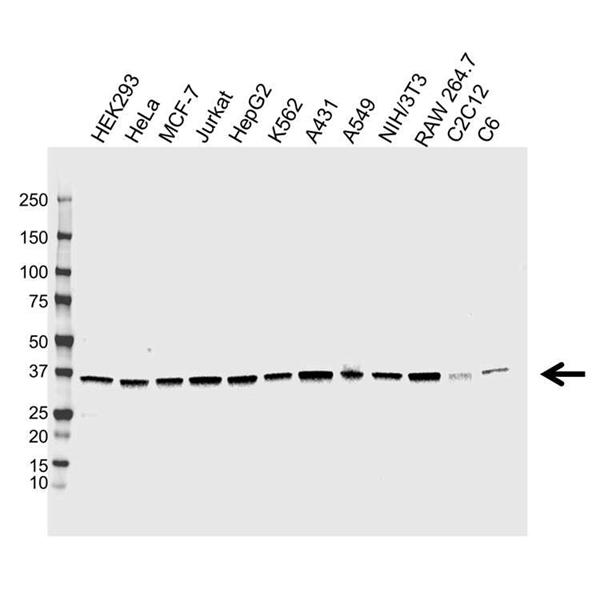 APEX1 Antibody (PrecisionAb<sup>TM</sup> Antibody) | CPTC15 gallery image 1