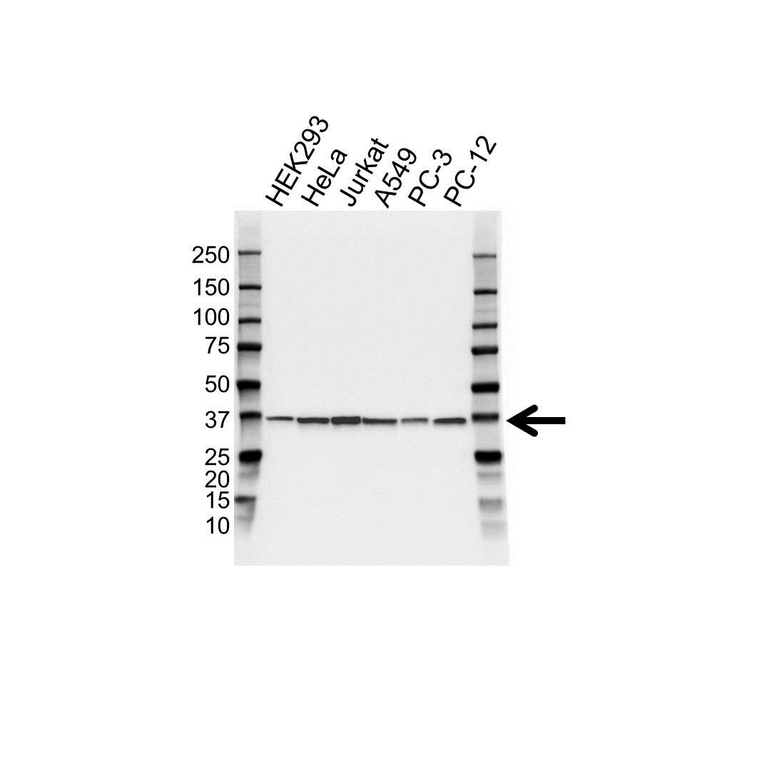 APEX1 Antibody (PrecisionAb<sup>TM</sup> Antibody) | OTI6E10 gallery image 1