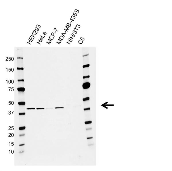 APOBEC3G Antibody (PrecisionAb<sup>TM</sup> Antibody) gallery image 1