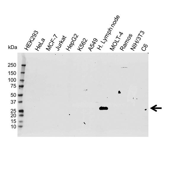 Apolipoprotein A1 Antibody (PrecisionAb<sup>TM</sup> Antibody) gallery image 1