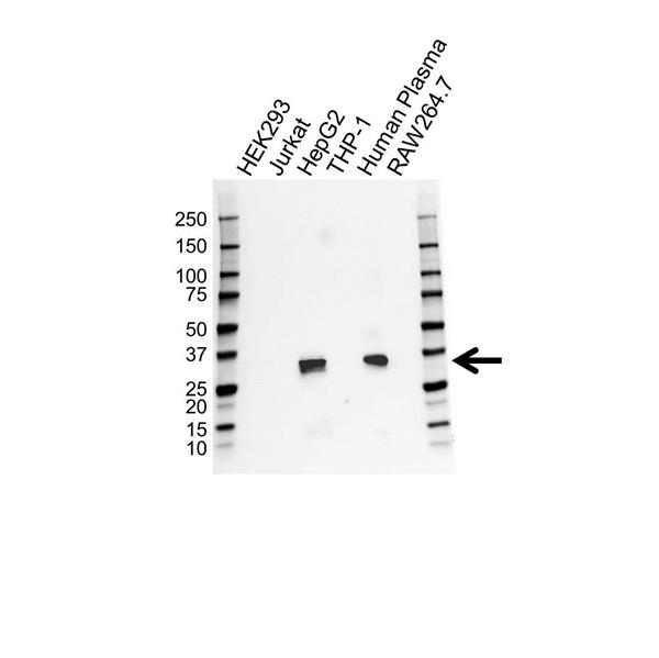 Apolipoprotein E Antibody (PrecisionAb<sup>TM</sup> Antibody) gallery image 1