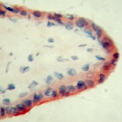 Apolipoprotein H Antibody   ID2 gallery image 1