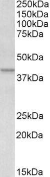 Apolipoprotein L1 Antibody gallery image 2