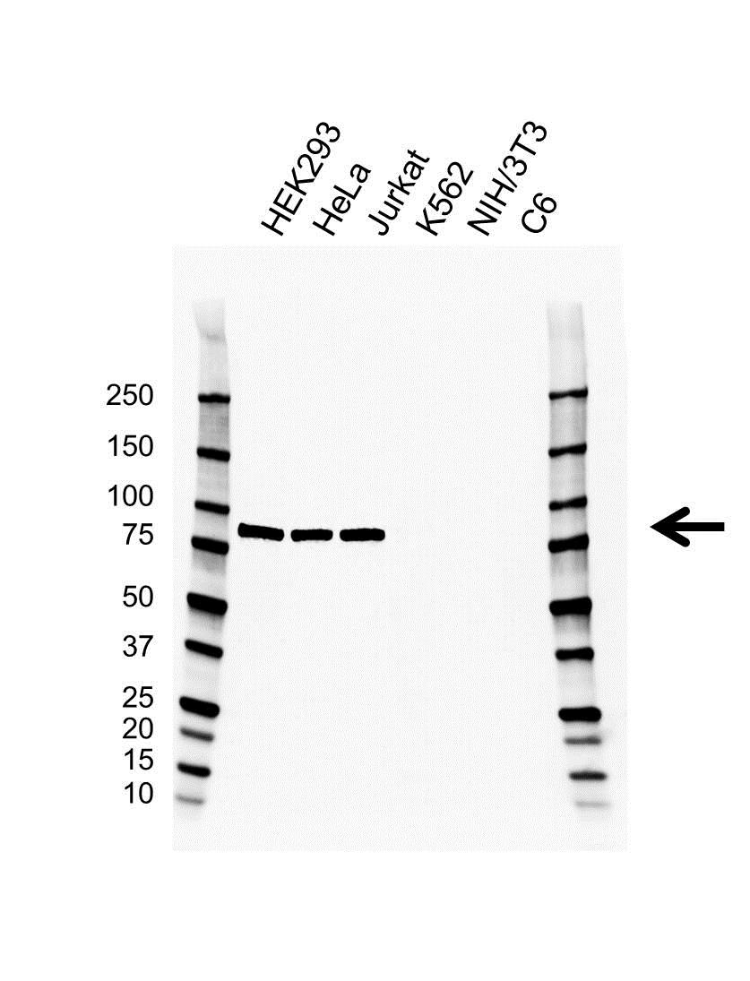 APPL1 Antibody (PrecisionAb<sup>TM</sup> Antibody) | G03/2H2 gallery image 1