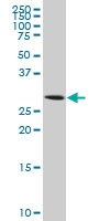 Aquaporin 8 Antibody | 1F8 gallery image 1