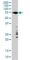 ARAF Antibody | 6H6 gallery image 1