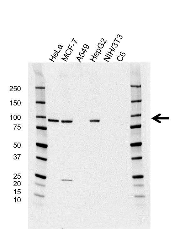 Argonaute 2 Antibody (PrecisionAb<sup>TM</sup> Antibody) | H01/6G5 gallery image 1