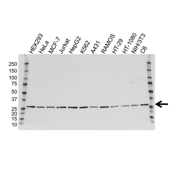 ARHGDIA Antibody (PrecisionAb<sup>TM</sup> Antibody) | 1F2 gallery image 1