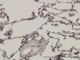 ARNT Antibody | 3D10 gallery image 2
