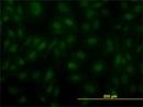 ARNT Antibody | 3D10 thumbnail image 1
